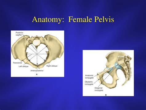 The female bony pelvis is divided into: PPT - Introduction to Obstetrics & Gynecology PowerPoint ...