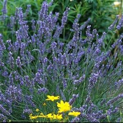 where to buy a lavender plant lavandula grosso buy lavandula perennials online