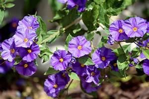 Potato Bush Care – Learn About Blue Potato Bush Growing ...