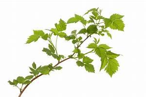 Magnolien Vermehren Durch Stecklinge : himbeeren durch stecklinge vermehren so wird 39 s gemacht ~ Lizthompson.info Haus und Dekorationen