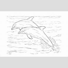 8+ Dolphin Coloring Pages  Jpg, Ai Illustrator Download