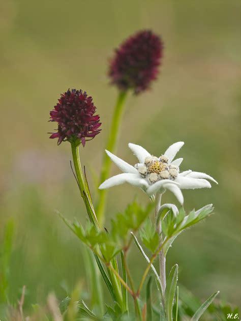 koenigin der alpenblumen forum fuer naturfotografen
