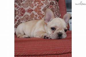 Meet Florida Frenchie a cute French Bulldog puppy for sale ...