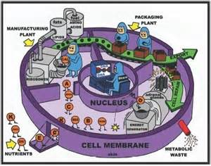 17 Best Images About Stem  Cells  U0026 Photosynthesis On