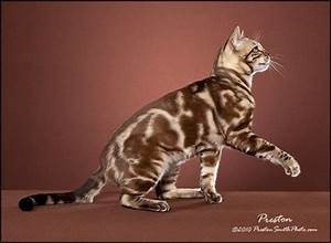 Silver Marbled Tabby Cat | Seal Mink (Snow) Marbled Tabby ...