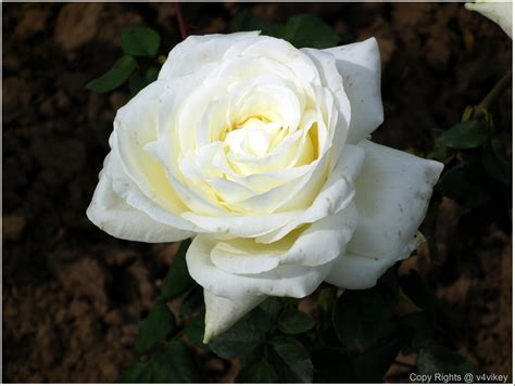 white is a color different type of beautiful flowers in different