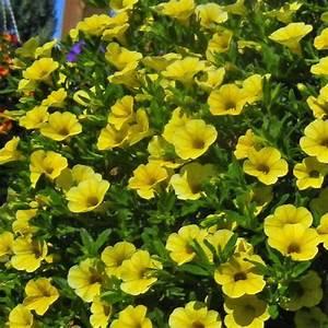 million bells trailing yellow calibrachoa plant free