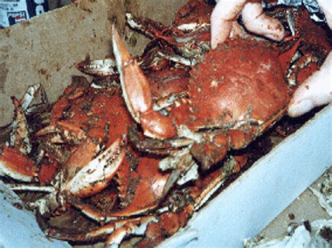 blue crabs steamed maryland style recipe foodcom
