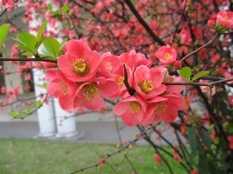 quince blossom flower wallpaper full desktop backgrounds