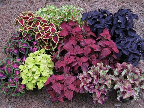 coleus plants coleus blueberry waffle tribalmystic stories