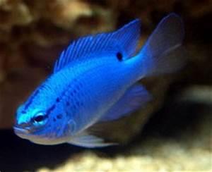 Neon Blue Damsel
