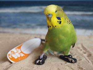 Budgie Wallpapers 18 Beautiful Collection