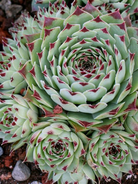 where to buy hens and plants sempervivum tectorum greenii quot hens chicks quot buy online at annie s annuals