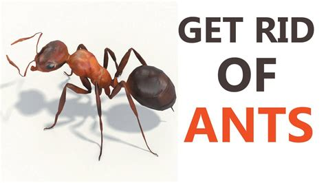 getting rid of ants 10 best home remedies to get rid of ants how to get rid of ants naturally at home youtube