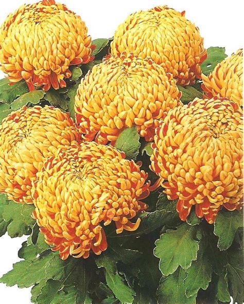 crizantema floare mare multicolor 001 | Flori la ghiveci