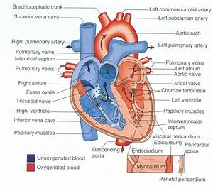Diagram Of The Heart