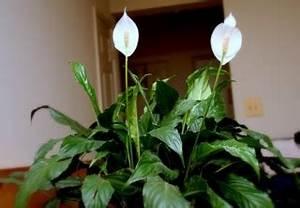 Entretien Plante Verte : spathiphyllum entretien soins ~ Medecine-chirurgie-esthetiques.com Avis de Voitures