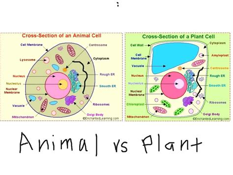 Plant Cell Vs Animal Cell Venn Diagram