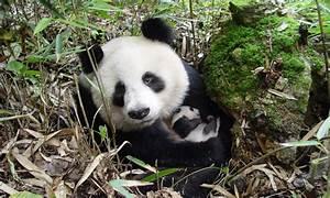 Panda population grows nearly 17 percent | Stories | WWF