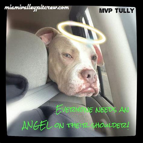 Pit Bull Memes - 117 best pit bull memes images on pinterest pit bull