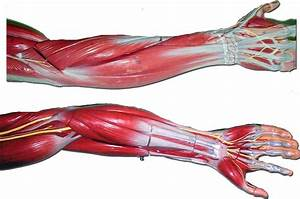 anatomy forearm arm muscles model