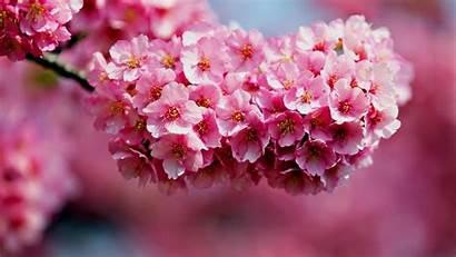 Desktop Flower Background 1080p Nature Flowers Pink