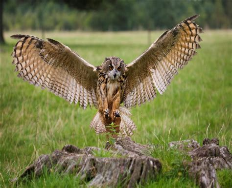 Eagle Owl Diet, Habitat, And Behavior Bedroom Without Closet Mor Furniture Sets 1 Apartments Milwaukee Wi Gray Bench Boys 3 One In Hattiesburg Ms Twin Size