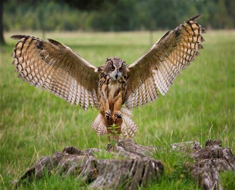how long do owls live owls lifespan