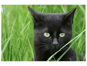 Schwarze, Katze, Im, Gr, U00fcnen, Foto, U0026, Bild