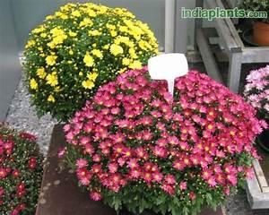Dendranthema Hybride Balkon : plant details ~ Lizthompson.info Haus und Dekorationen