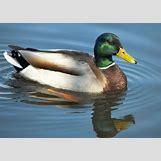 Drake Mallard Duck | 2100 x 1500 jpeg 1806kB