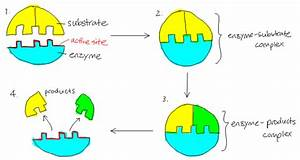 The Effect Of The Enzyme Concentration On The Rate Of