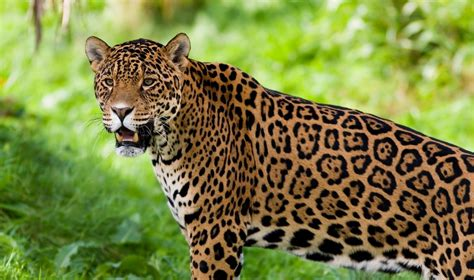 jaguar disney animals wiki fandom