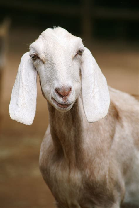stock photo  animal domestic animal goat