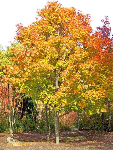 maple tree top 28 maple tree autumn maple tree in park free stock photo public domain guernsey soil
