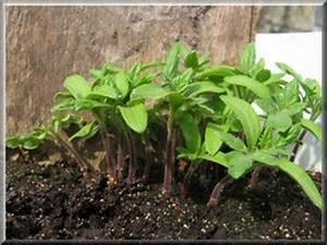 Quand Planter Les Tomates Cerises : quand planter les tomates en pleine terre ~ Farleysfitness.com Idées de Décoration