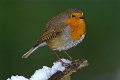 top 28 robin bird information robin bird facts robin