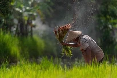 Rice Farmer Rain Grain Field Asian Spring