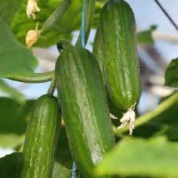 Spinnmilben An Gurken : gurken pflanzen pflegen und ernten mein sch ner garten ~ Lizthompson.info Haus und Dekorationen