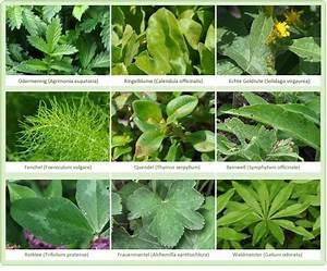 Pflanzen Bestimmen Nach Bildern : wildkr uter und heilpflanzen bestimmen ~ Eleganceandgraceweddings.com Haus und Dekorationen