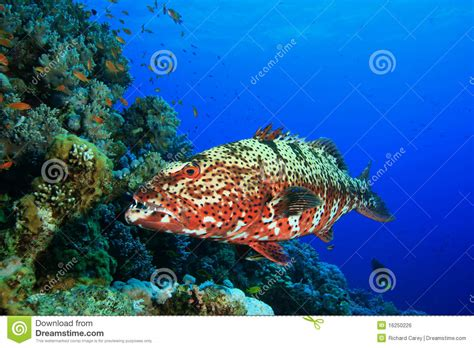 grouper coral preview