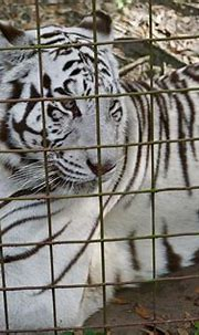 Sapphire | Sapphire is a confiscated white tiger. BCR ...