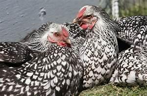 Poule Pondeuse Race : quelle race de poule pondeuse choisir pour un poulailler ~ Dallasstarsshop.com Idées de Décoration