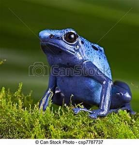 Frosch Als Haustier : bilder von blaues gift frosch wurfpfeil blaues gift wurfpfeil csp7787737 suchen sie ~ Buech-reservation.com Haus und Dekorationen