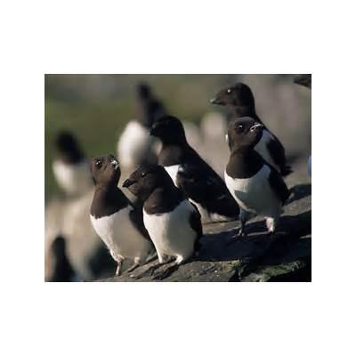 Little auk (Alle alle) - Norwegian Polar Institute