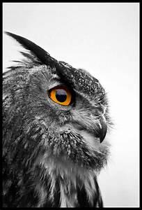 european eagle owl black and white of a european