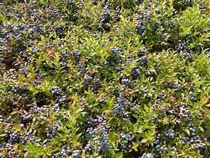 Maine Wild Blueberry Harvest Season | HappyMeStuff