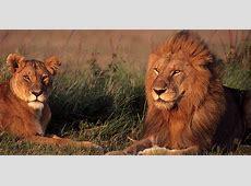Erkek gibi görünen ve erkek gibi kükreyen dişi aslan