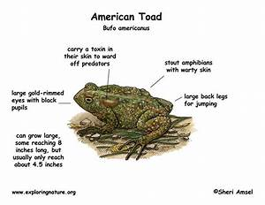 Toads Vs Frogs