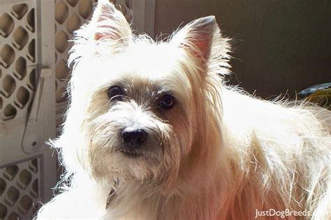 Cairn Terrier Shed Hair by Breeds Cairn Terrier Breeds Picture